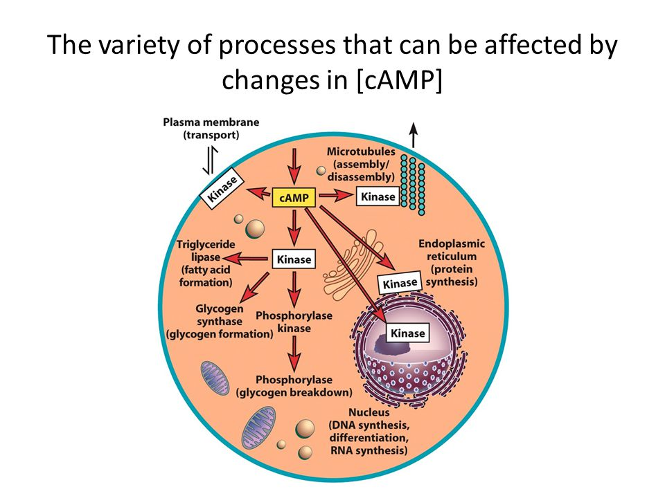 The variety of processes that can be affected by changes in [cAMP]